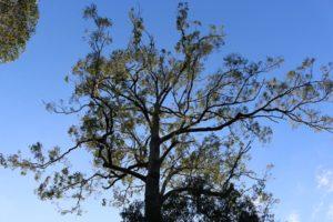 grey ironbark tree